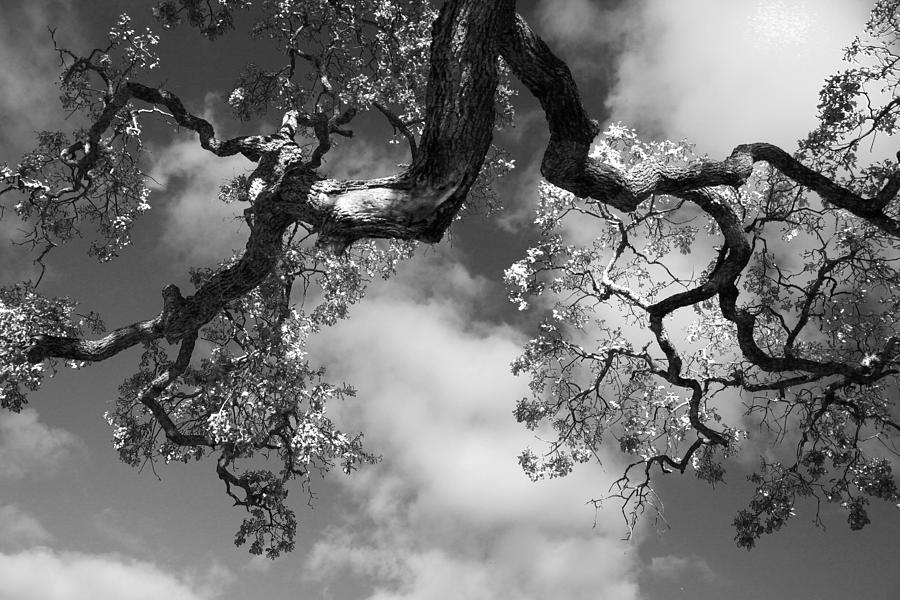 Cloudy Oak Photograph