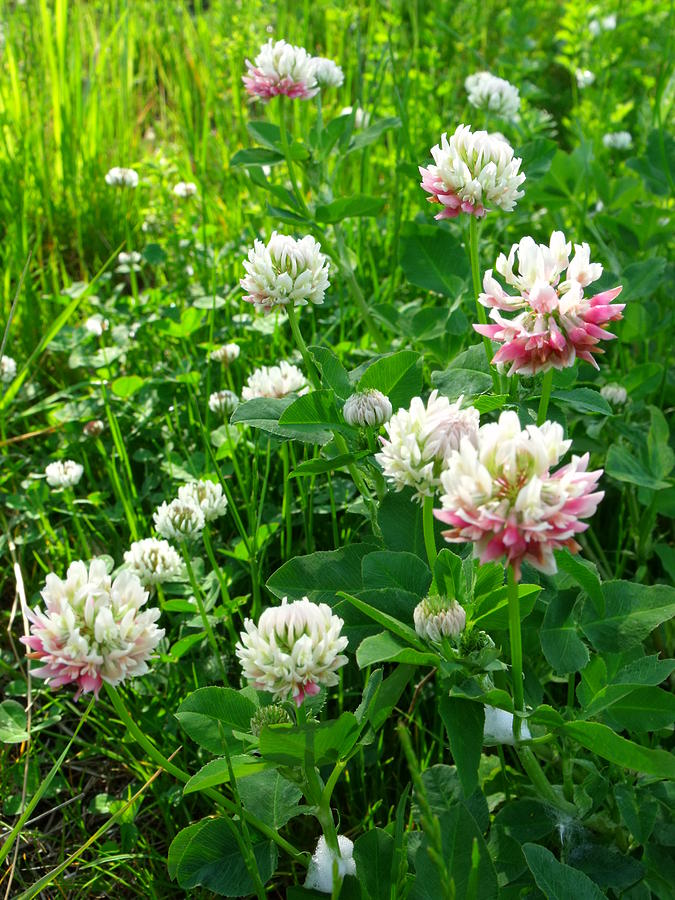 Clover Field Photograph