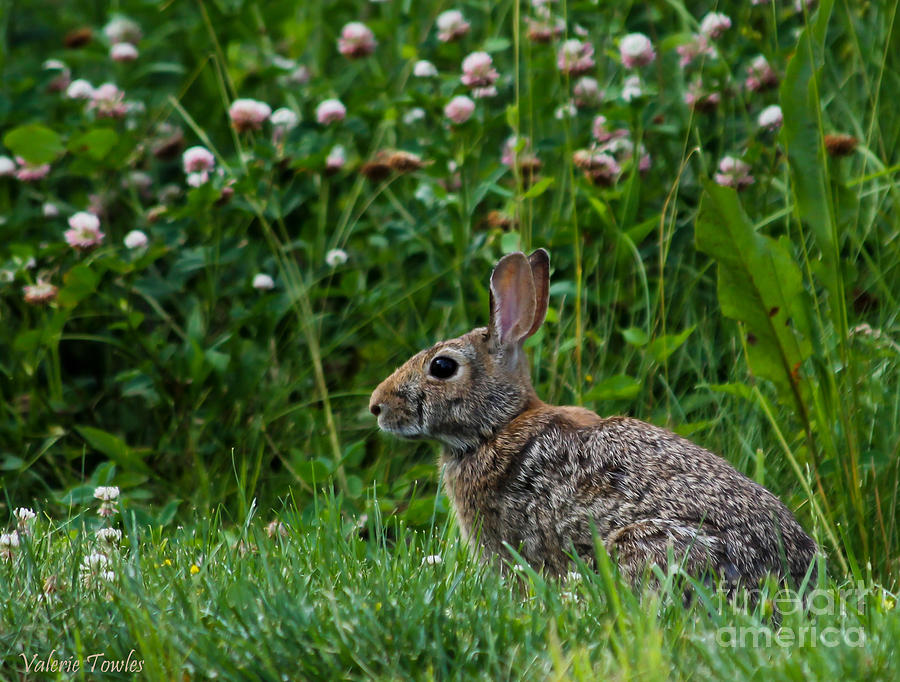 Clover Rabbit Photograph  - Clover Rabbit Fine Art Print