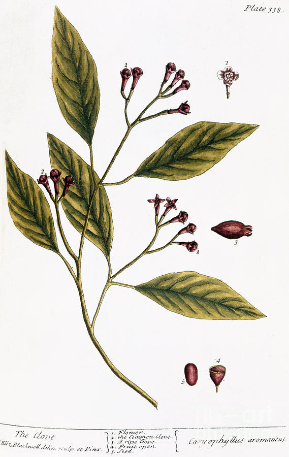 Cloves, 1735 Photograph