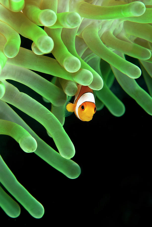 Clownfish On Green Anemone Photograph
