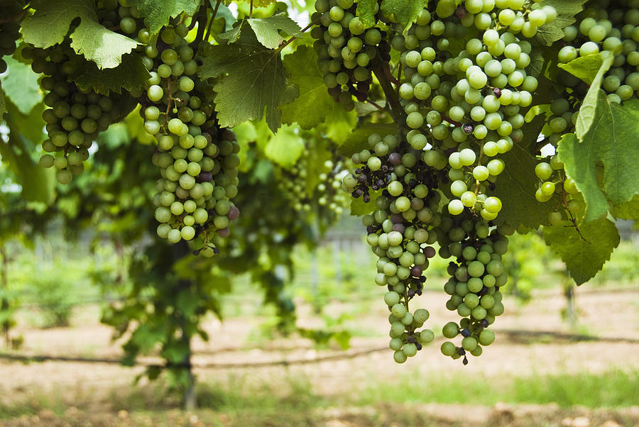 Clusters Of Grapes On The Vine At Fall Photograph  - Clusters Of Grapes On The Vine At Fall Fine Art Print
