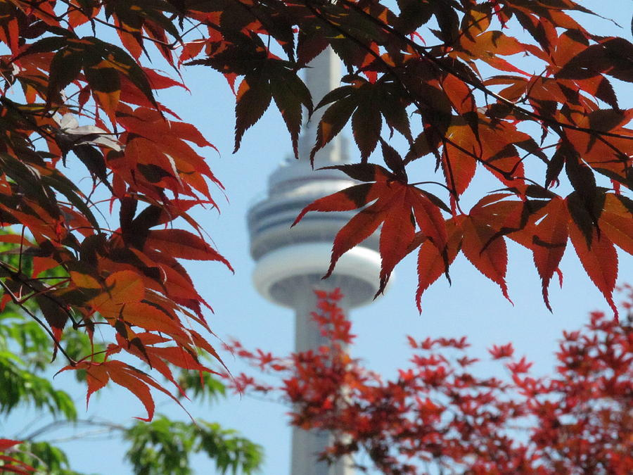 Cn Tower With Japanese Maple Photograph