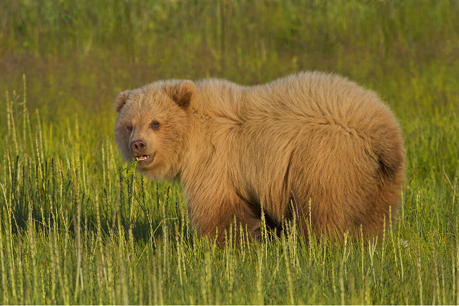 Coastal Brown Bear Photograph