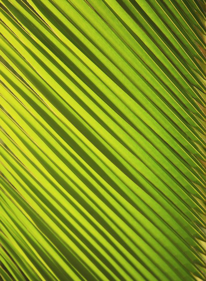 Coconut Palm Photograph