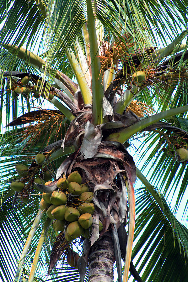 Coconut Palm Inflorescence Photograph