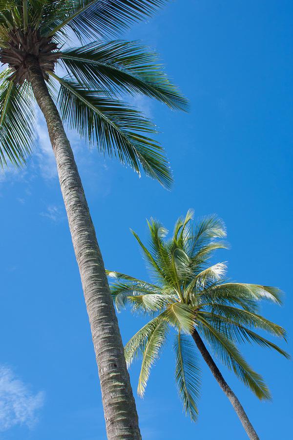 Coconuts  Photograph