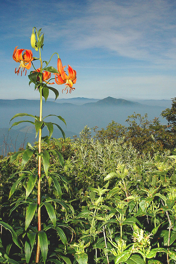 Cold Mtn. And Turks Cap Lily Photograph  - Cold Mtn. And Turks Cap Lily Fine Art Print
