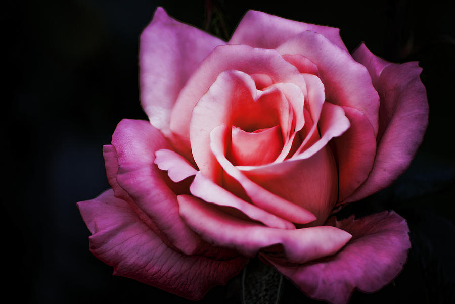 Cold Purple Rose Photograph By Diego Re