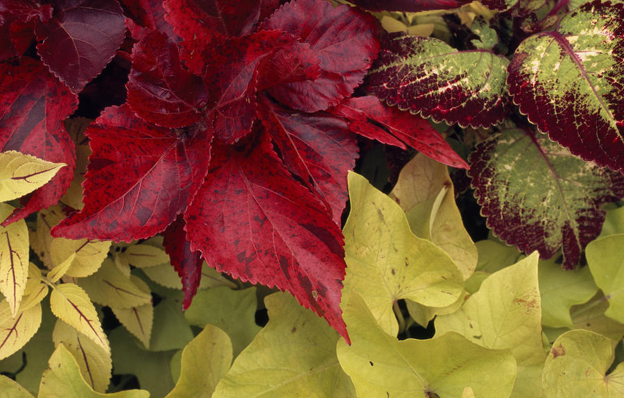 Coleus And Other Plants In A Window Box Photograph