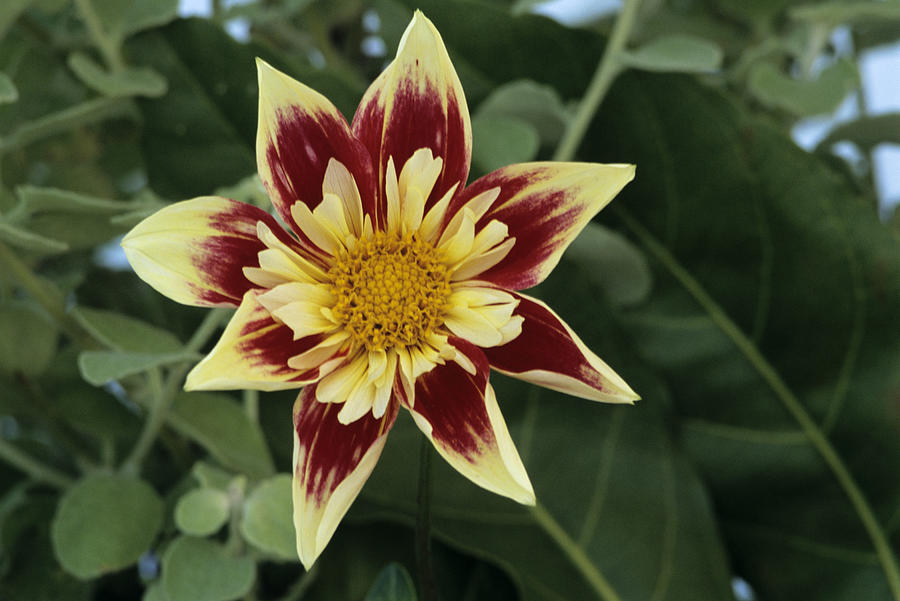 Collerette Dahlia Photograph