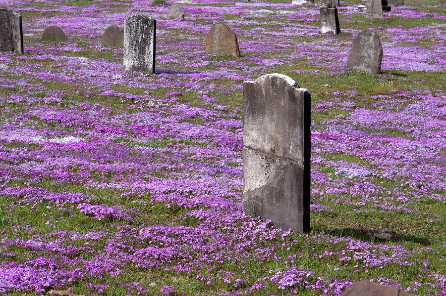 Colonial Tombstones Amidst Graveyard Phlox Photograph
