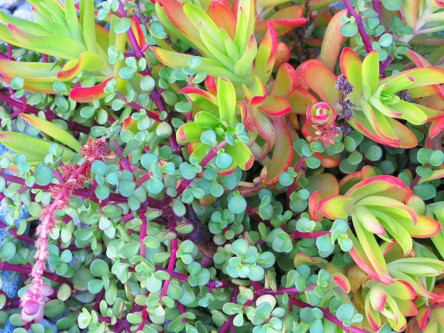 Colorful Succulent Plants For You Photograph By Carl Deaville