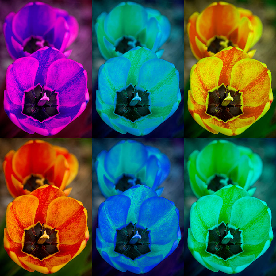 Colorful Tulip Collage Photograph  - Colorful Tulip Collage Fine Art Print