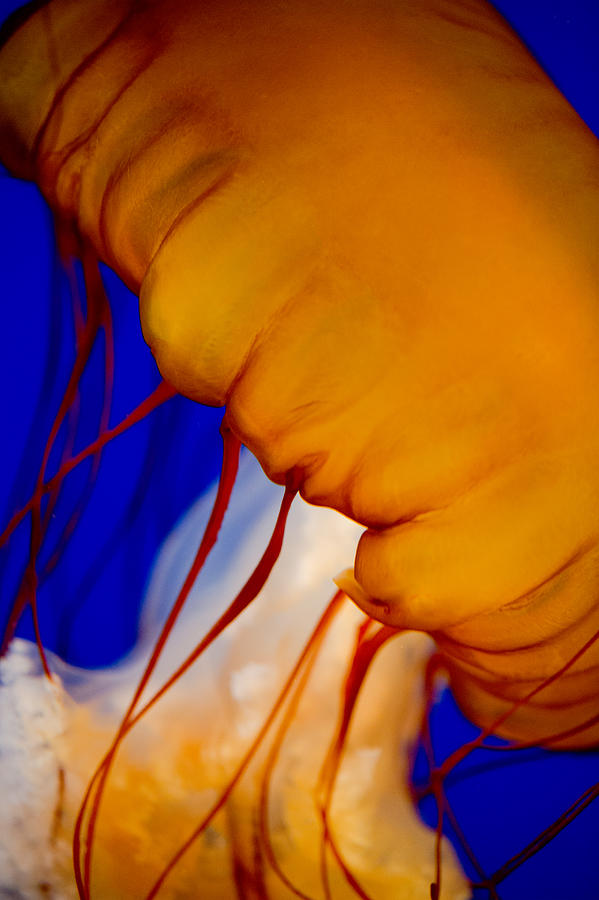 Colours Of The Jelly Fish 2 Photograph  - Colours Of The Jelly Fish 2 Fine Art Print