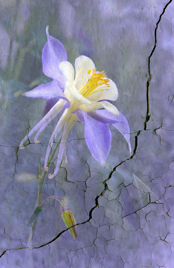 Columbine On Cracked Wall Photograph  - Columbine On Cracked Wall Fine Art Print