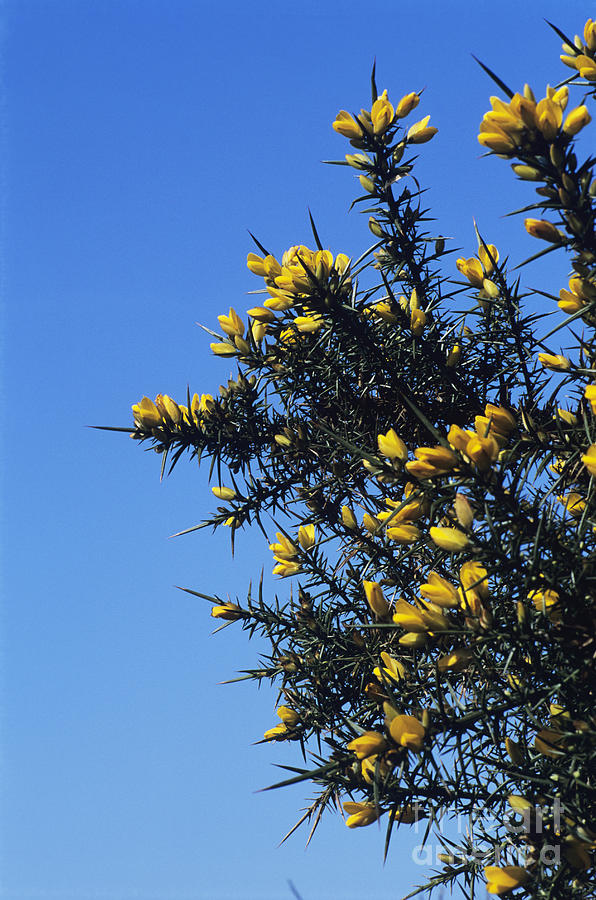 Common Gorse Photograph  - Common Gorse Fine Art Print