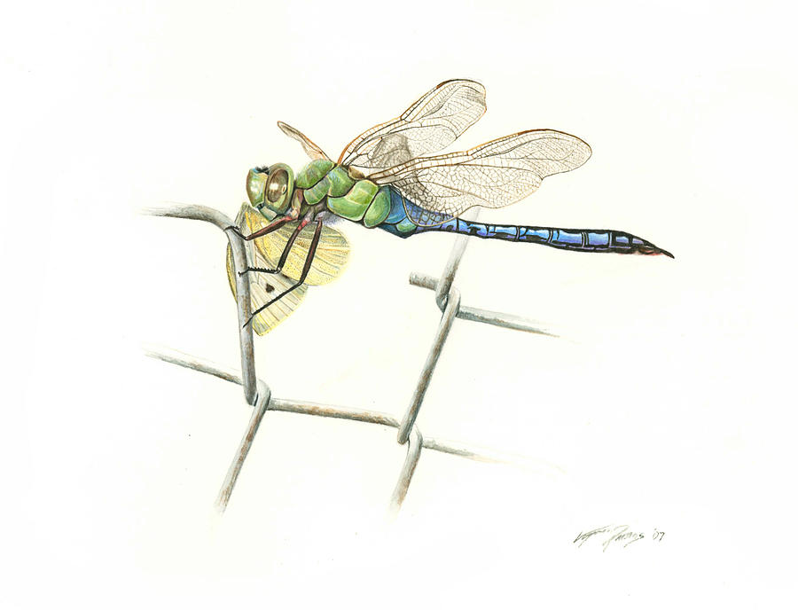 Common Green Darner Painting  - Common Green Darner Fine Art Print