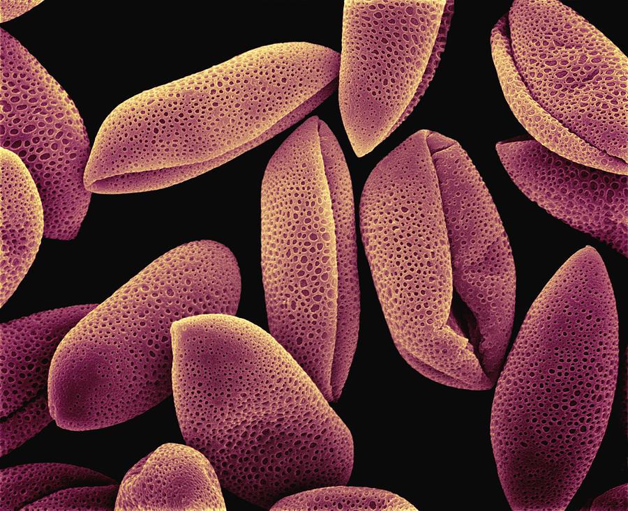 Common Hyacinth Pollen Sem At 700x Photograph