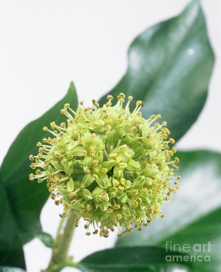 Common Ivy (hedera Helix) Flower Head Photograph  - Common Ivy (hedera Helix) Flower Head Fine Art Print