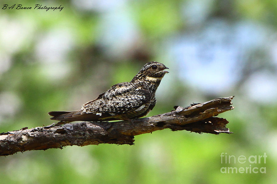 Common Night Hawk Photograph  - Common Night Hawk Fine Art Print