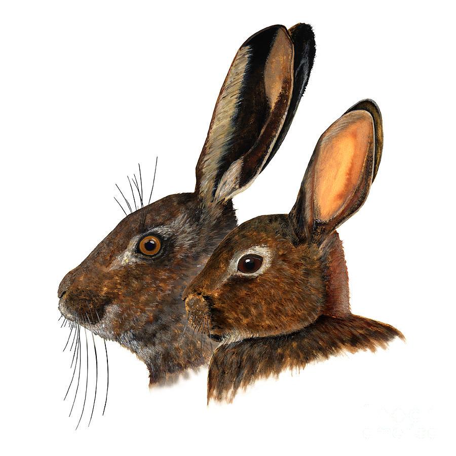 Comparison Hare Rabbit Ears - Oryctolagus Cuniculus - Genus Lepus - Vergleich Hase Kaninchen Ohren Painting