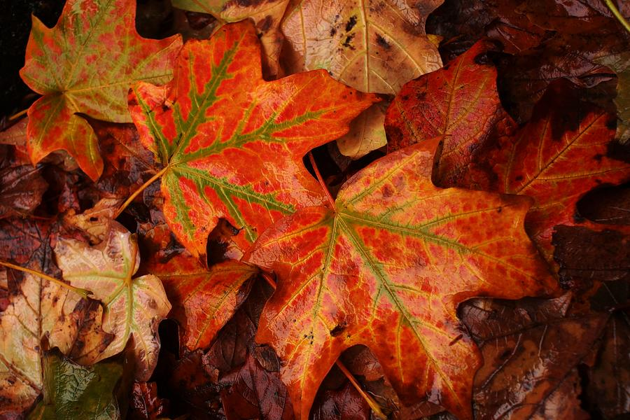 Red Photograph - Complementary Contrast Leaves by Matthew Green
