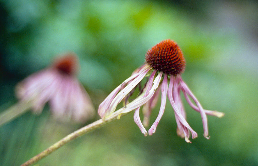 Cone Flower Photograph - Cone Flower by Marcio Faustino