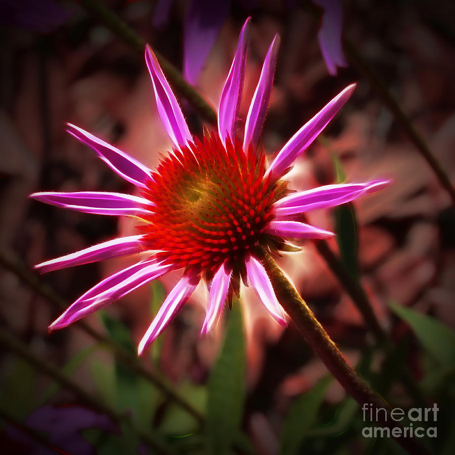 Coneflower 3 Photograph  - Coneflower 3 Fine Art Print