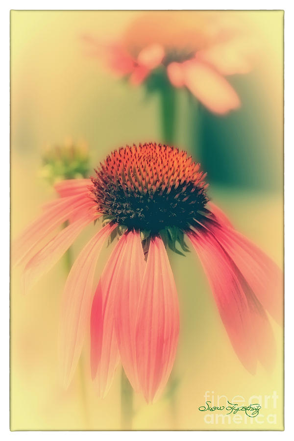 Coneflower Photograph  - Coneflower Fine Art Print