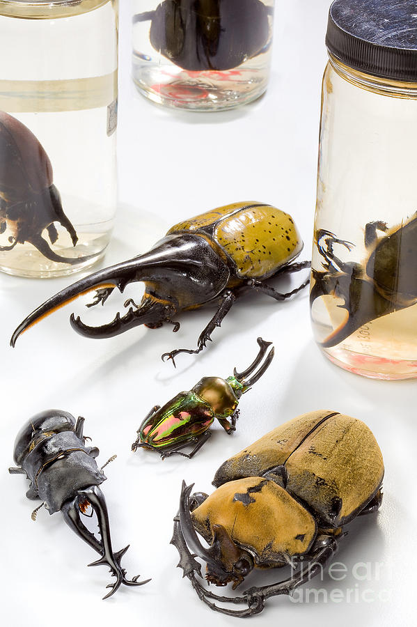 Confiscated Beetles Photograph  - Confiscated Beetles Fine Art Print