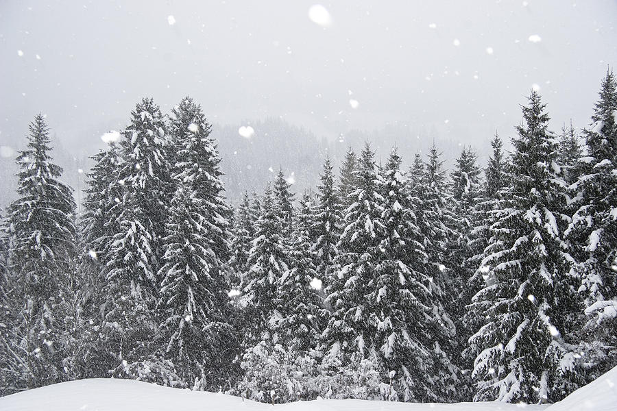 Coniferous Forest In Winter, Alps Photograph