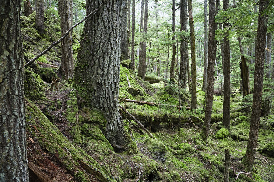 Coniferous Forest Inside Passage Photograph By Konrad Wothe