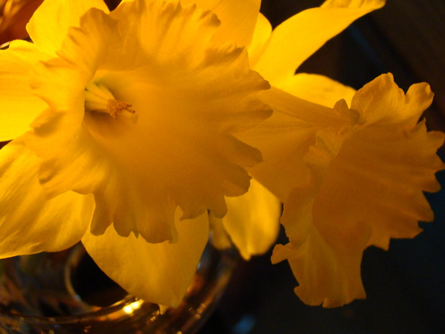 Contemporary Flower Artwork 10 Daffodil Flowers Evening Glow Photograph