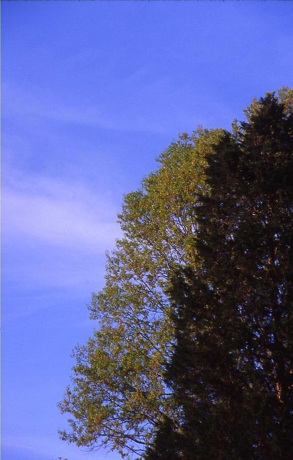 Contrasting Trees Against Sky Photograph