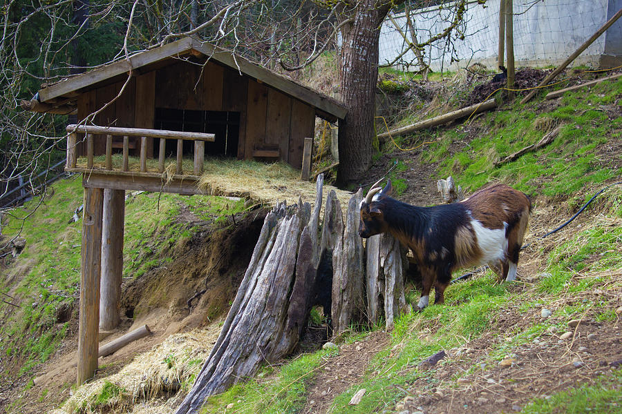 Coombs Goat House By Donna Munro