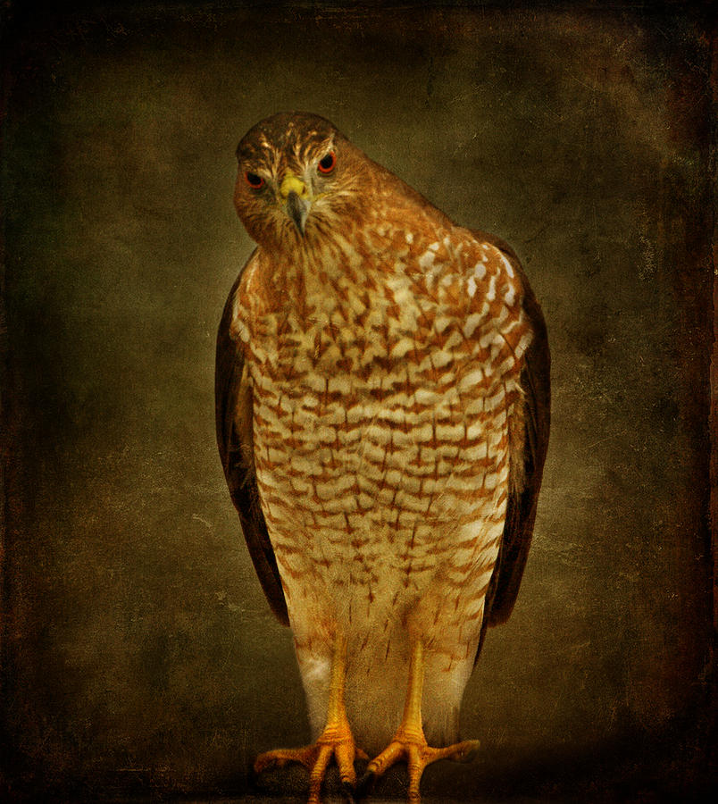 Coopers Hawk Photograph  - Coopers Hawk Fine Art Print