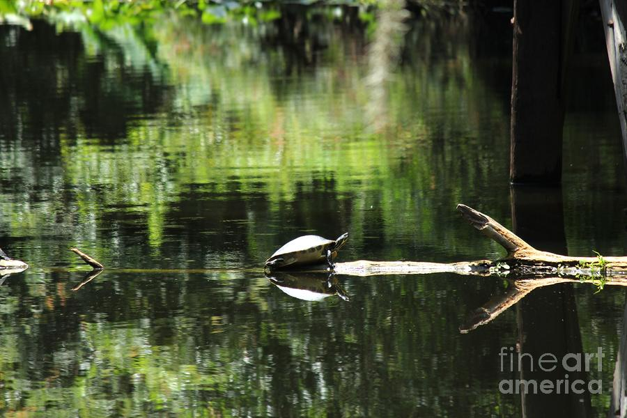 Cooter On A Log Photograph  - Cooter On A Log Fine Art Print