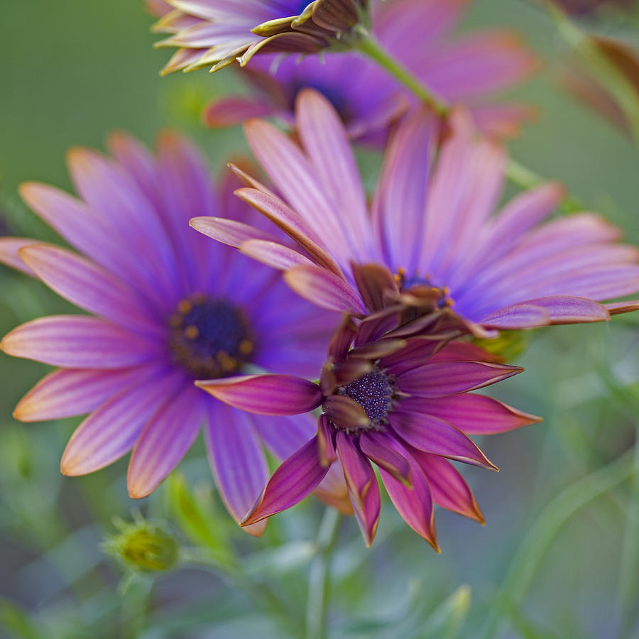 Copper-edged Daisies Photograph - Copper Daisies 1 by Bonnie Bruno