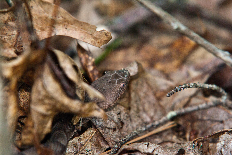 Copperhead 3 Photograph  - Copperhead 3 Fine Art Print