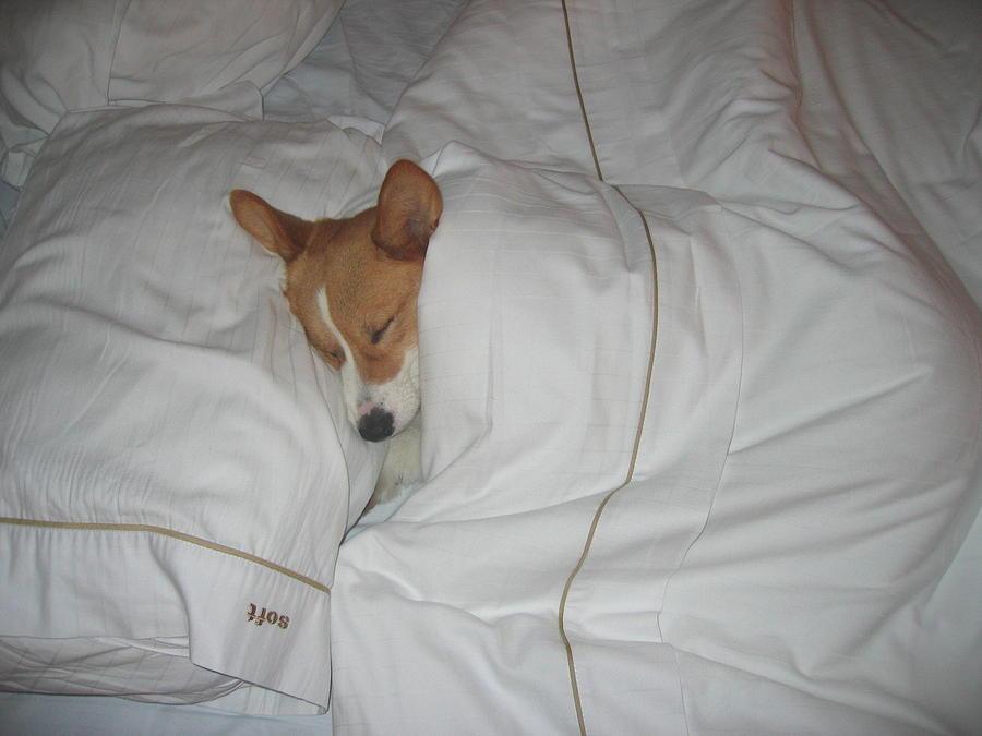 Corgi Sleeping Softly Photograph