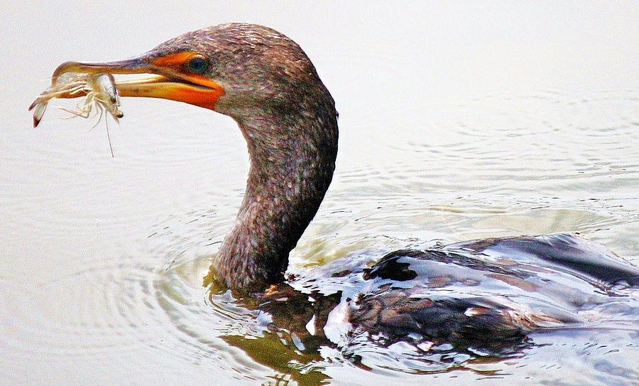 Cormorant Catching A Shrimp Photograph  - Cormorant Catching A Shrimp Fine Art Print
