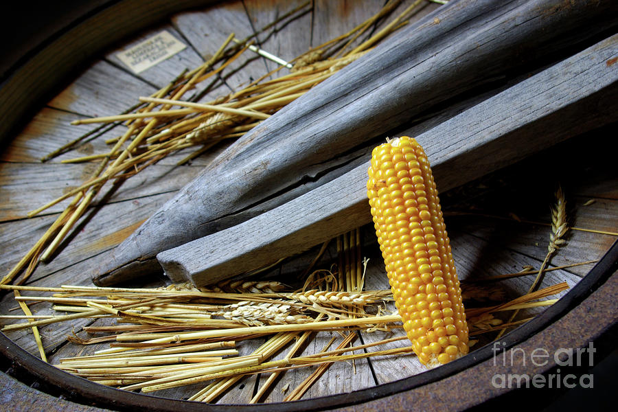 Corn Cob Photograph  - Corn Cob Fine Art Print