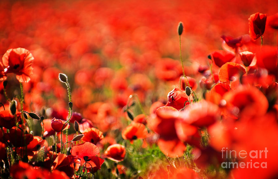 Corn Poppies Photograph