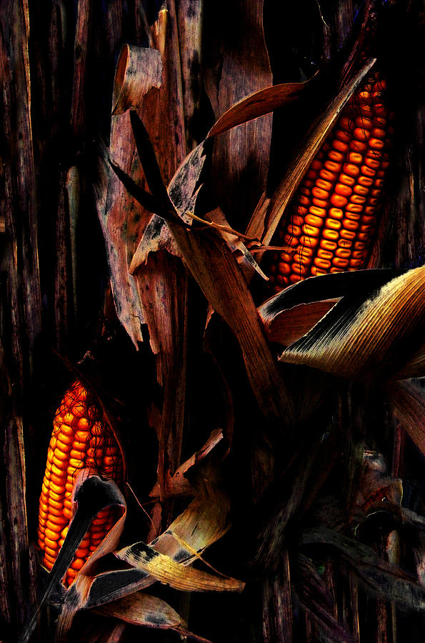 Corn Stalks Photograph  - Corn Stalks Fine Art Print