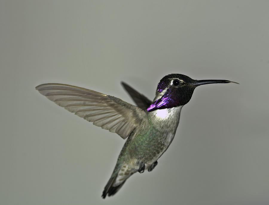 Costas Hummingbird Photograph  - Costas Hummingbird Fine Art Print