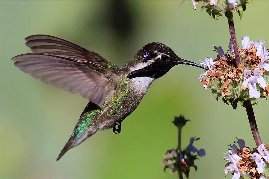 Costa s hummingbird by paul marto