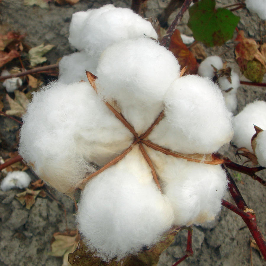 Cotton Photograph