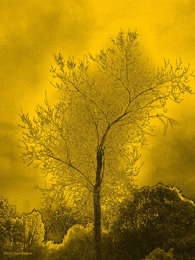 Cottonwood Tree April 2012 In Gold Photograph  - Cottonwood Tree April 2012 In Gold Fine Art Print