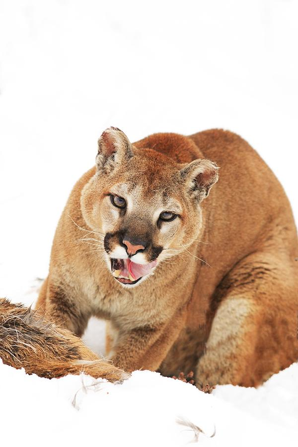Cougar With Prey Photograph
